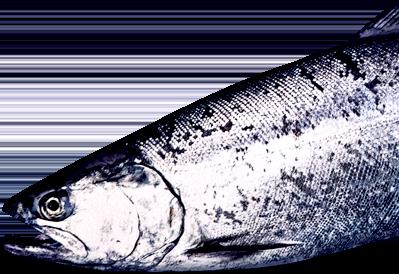 魚体の銀色のイメージ