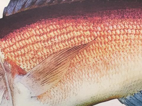 美濃和紙に印刷した甘鯛のカラーデジタル魚拓のクローズアップ