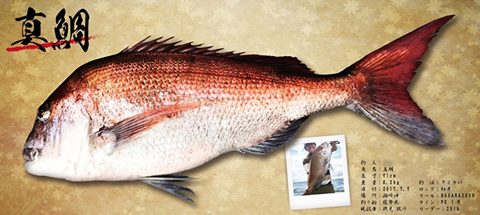 真鯛魚拓-完成